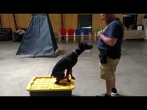 Early Obedience Training W/Jet 5 Mo Doberman Puppy BAB Participant