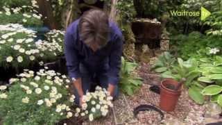 Creating A Cascade Out Of Marguerites - Waitrose Garden