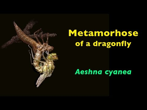 Metamorphose of a dragonfly  Aeshna cyanea
