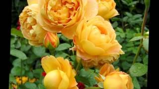 видео Аромат королевы цветов - эфирное масло розы