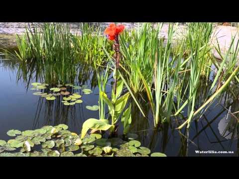 Какие растения выбрать для пруда. Водные растения ЧАСТЬ 1 (Which water plants should you choose)