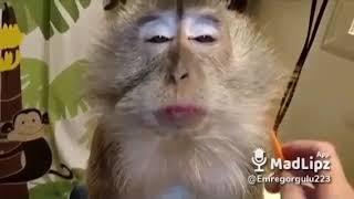 Komik maymun kurtce dublaj