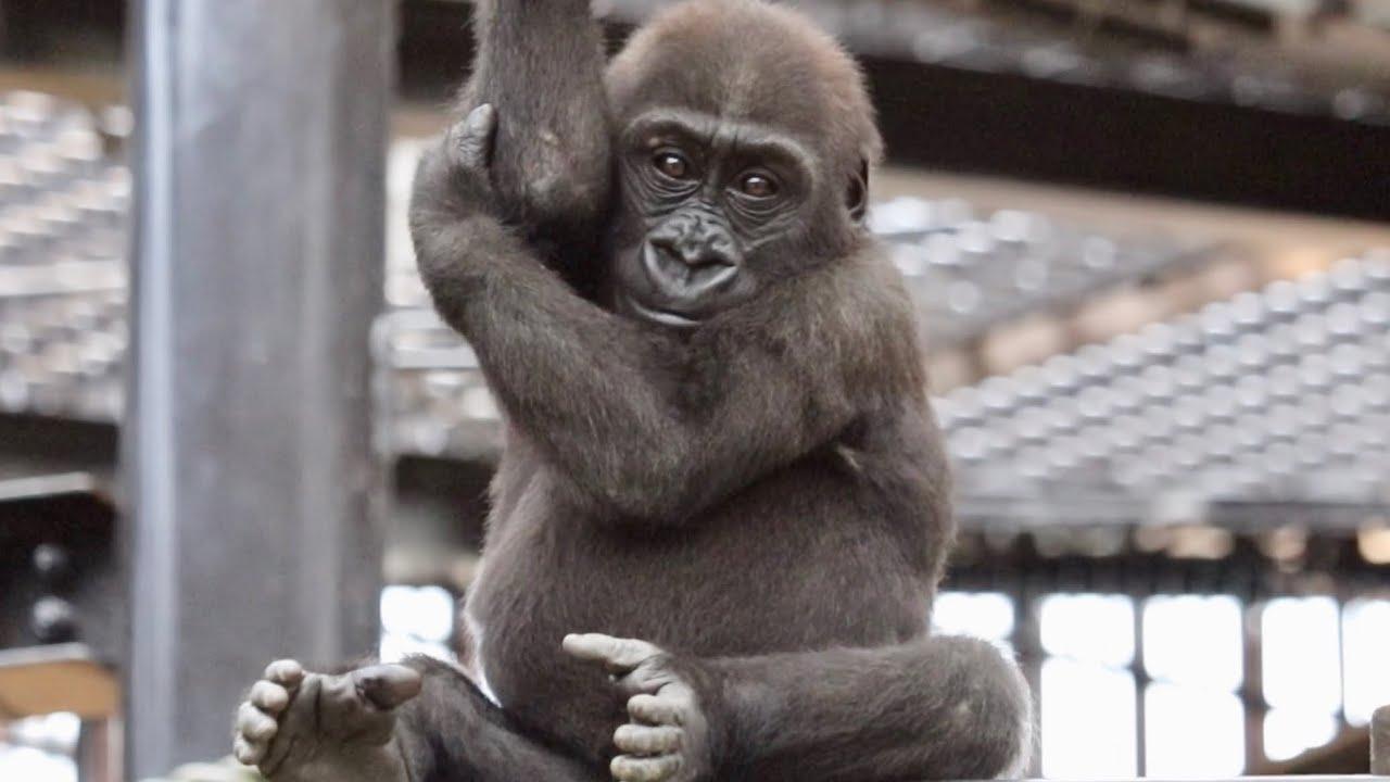 高所は苦手ですか?僕達は大好きです!⭐️ゴリラ Gorilla【京都市動物園】Are you not good at high places? Gorilla brothers love it.