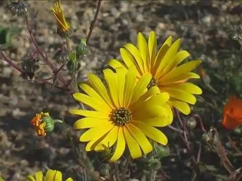 Видео: Rainbow's End - Flowers of Namaqualand