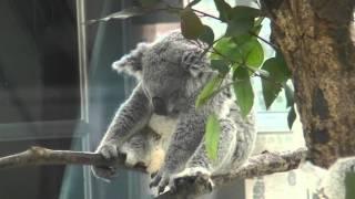 寝すぎのコアラ 埼玉県こども動物自然公園で撮影.