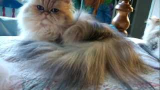 12 09 20 Combing Persian kitty, Sirocco, of the LONG fur