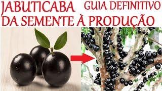 Especial Jabuticaba da Semente à Produção em 2 anos! (guia definitivo)