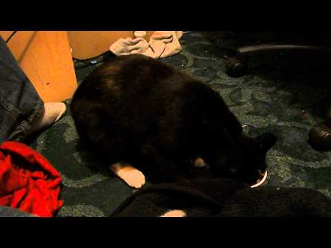 Stupid Cat Fail – Doesn't Know How to Yogart