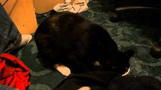 Stupid Cat Fail - Doesn't Know How to Yogart