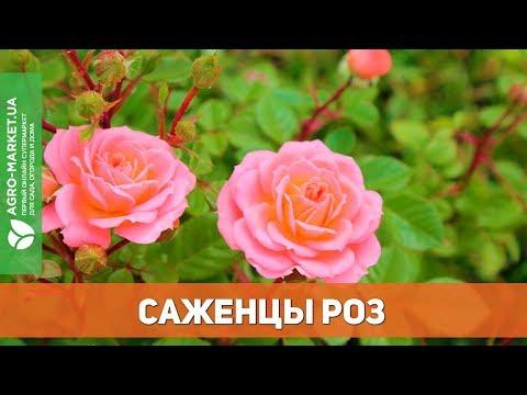 Лучшие саженцы роз | Agro-Market.ua