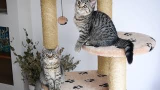 Британские котята в возрасте 3 месяца (Litter-H2)