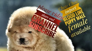 Chow Chow male female puppy available Chow Chow dog Chow Chow top quality puppy dog market7357655281