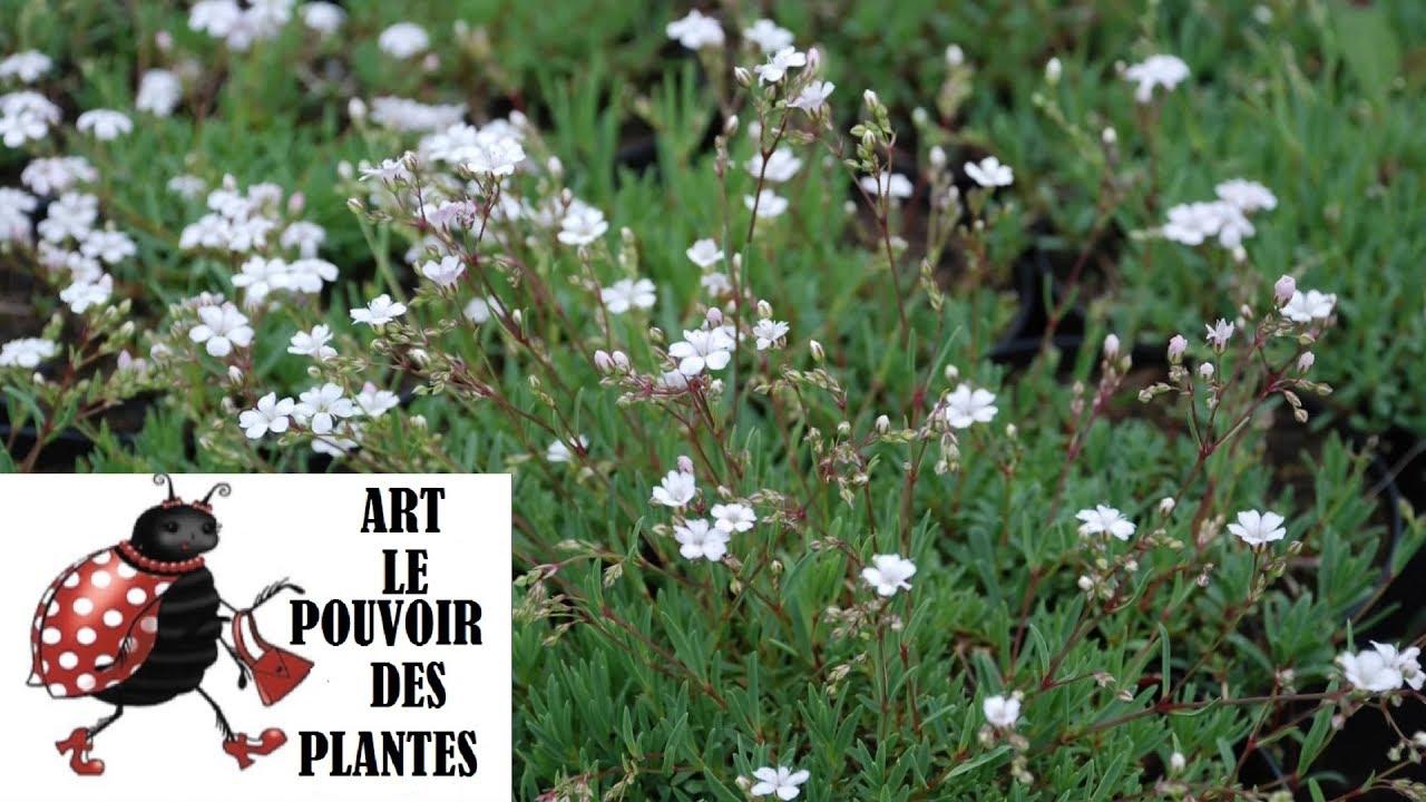 tuto jardin gypsophile vivace photos de fleurs et de