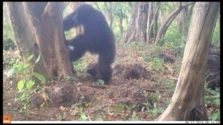 Why do chimpanzees throw stones at trees? thumbnail