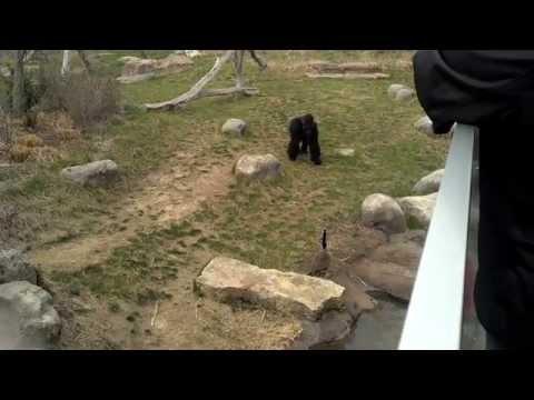 Gorilla vs Canadian Goose
