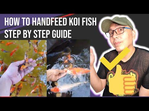 How To Hand Feed Koi Fish