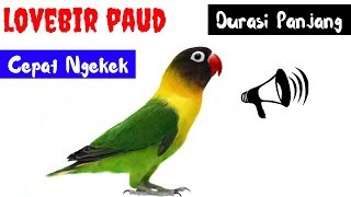 Dijamin Lovbird Baby Langsung Narik Ngekek Panjang Masteran Lovebird Paud Agar Ngekek Panjang mp3