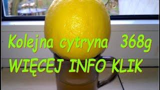 Owoc cytryny skierniewickiej 368g, kolejny spadł z krzaka ciekawerosliny