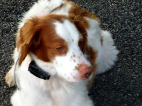 Brittany Spaniel playing at the park..