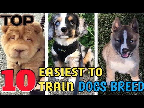 top-10-easiest-to-train-dog-breed-||-most-popular-dog-breed-||-doberman-price-in-india-||-pets-plaza