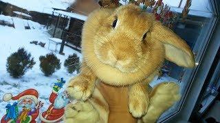Домашний декоративный вислоухий кролик  Содержание дома