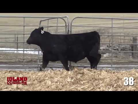 Idland Cattle Co  - Frontier Live Sale