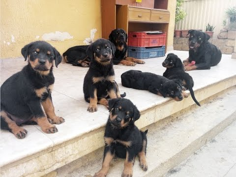 Rottweiler: Puppies playing