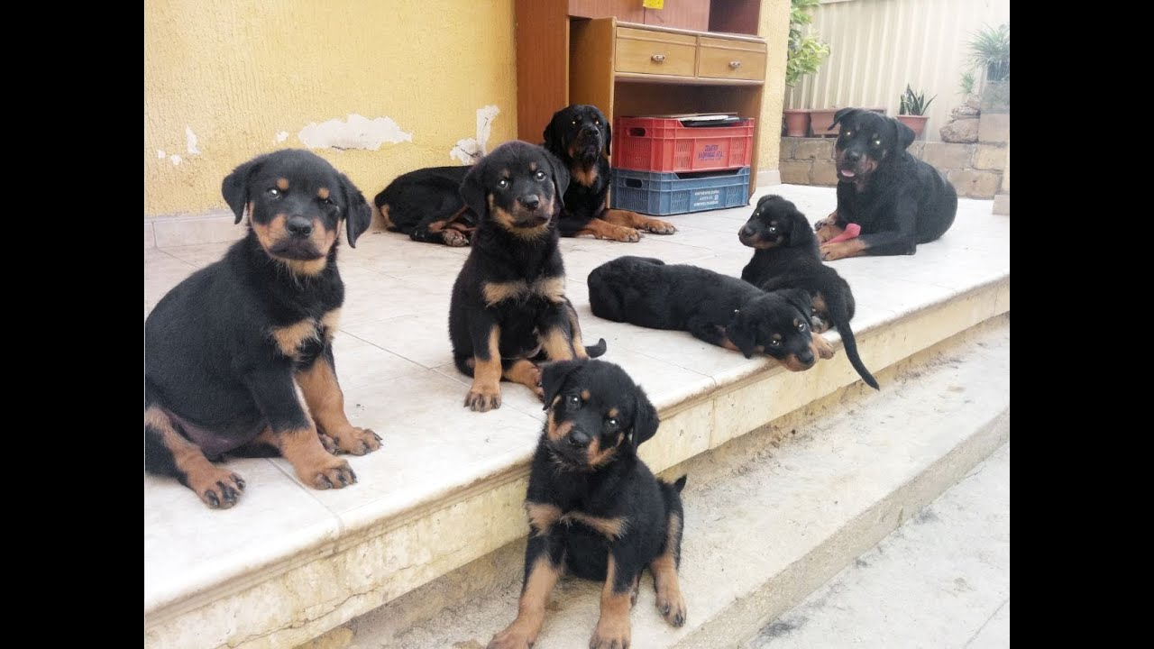 Rottweiler Puppies Playing Youtube