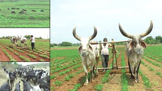 Ox Bullocks & Cows ! Indian Agriculture Farming