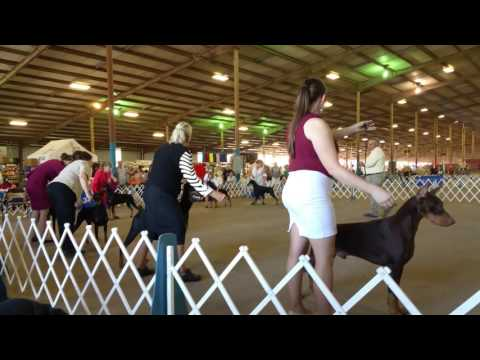 "Greater Austin Doberman Pinscher Club specialty show 10/29/16 Best of Breed ""Clifford"""