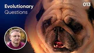 Why do pugs have flat faces? Evolutionary Question #13