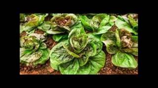 Выращивание салата бизнес |Особенности выращивания листового салата  | опыт Италии  |
