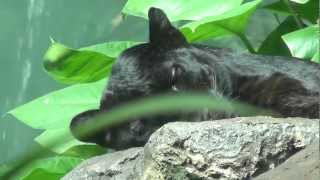 The Bronx Zoo- April 17th, 2012: Jungleworld- Black Leopards Resting