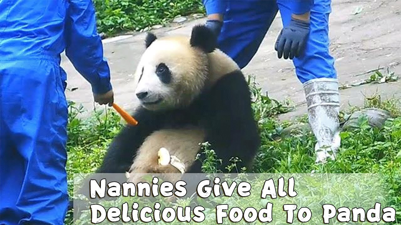 Nannies Give All Delicious Food To Panda | iPanda