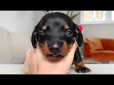 Eyes of dachshund puppies are opening!