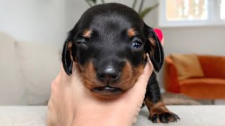 eyes-of-dachshund-puppies-are-opening