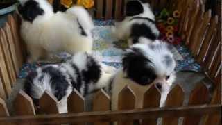 日本狆犬~1公3母.