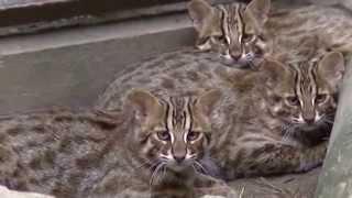 ツシマヤマネコの子猫。生後5か月(福岡市動物園) ツシマヤマネコ 検索動画 27