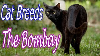 CAT BREEDS (The Bombay) Identify Top 10 Longest Living Cats & Kittens info