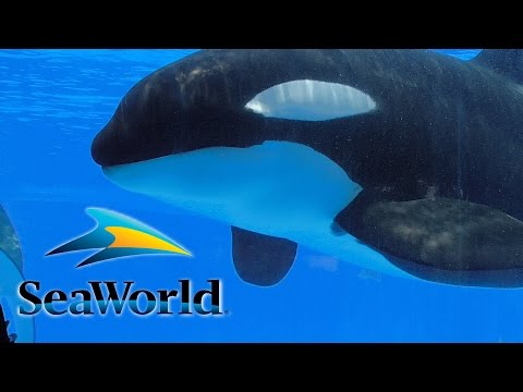 Shamu Up Close - Orca Underwater Viewing at SeaWorld Orlando