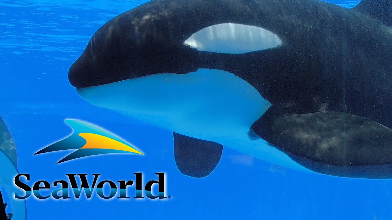 Shamu Up Close - Orca Underwater Viewing at SeaWorld