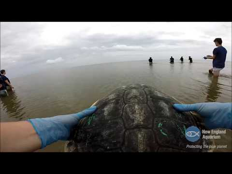 Sea Turtle Release — May 2017 - YouTube