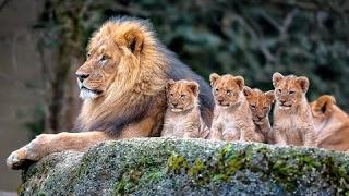 NATGEO Animals - Botswana Lion Brotherhood - Nat Geo Wild