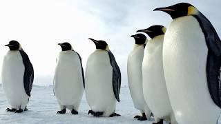 Картинка птицы. Пингвины   Picture of a bird. Penguins   Imagem de um pássaro. Pinguins