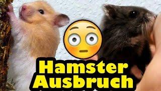 Plötzlich weg: Meine Hamster brechen aus!?