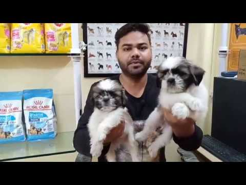 Shih Tzu Puppies For Sale In Delhi And India (Cheapest Dog Market) 9711696640)