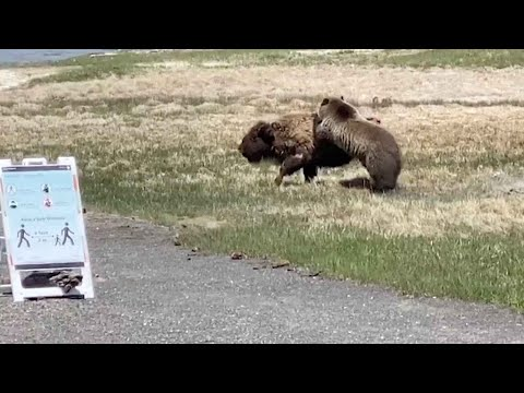 Bear And Bison Fight At Yellowstone National Park