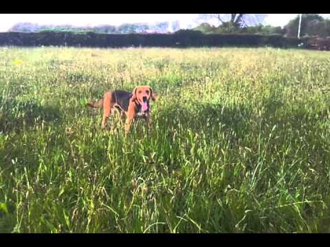 Harrier dog called Harry loves to play