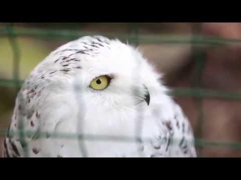 Полярная сова ругается