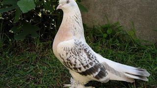 Голуби из Казахстана в Ленобласти